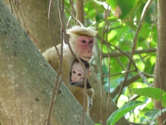 カンダラマホテルの前の木にいた猿