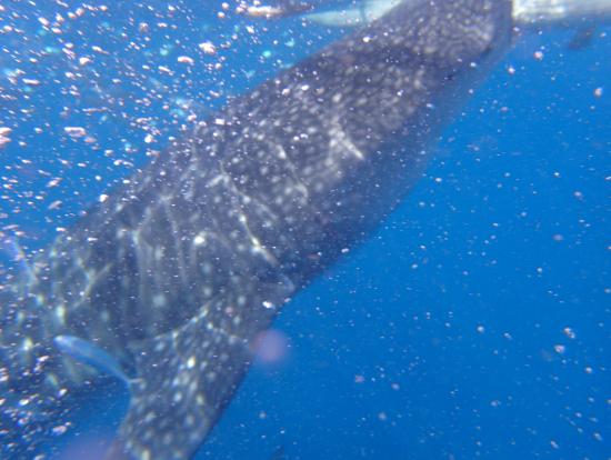 間近でみるジンベイザメのサイズは想像以上!