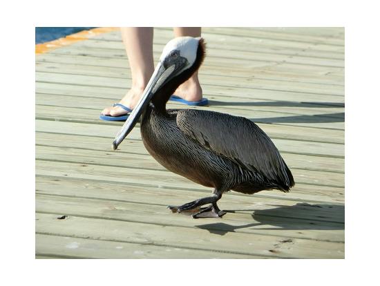桟橋では、ペリカンさんがお出迎え