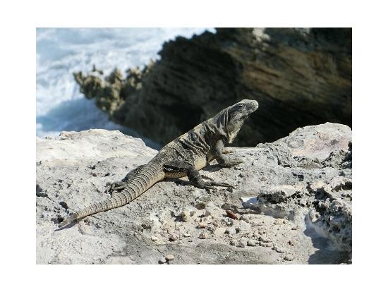 島の最南端の岬に行くと、野生のイグアナ君が、あちこちにいます。