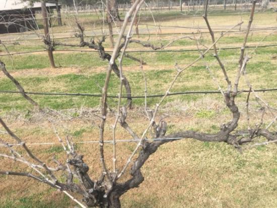 ハンターバリーのぶどうの木。