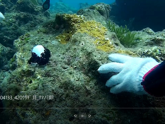 海ウサギ貝