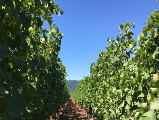 オーパスワンの畑。ぶどうがなっているのを間近に見ることができる。