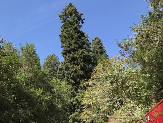 自由の女神より高い大木❗️