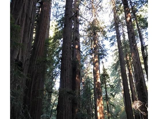 ミュアウッズ国定公園のレッドウッドの大木