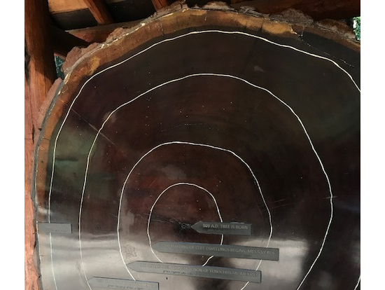 樹齢1,000年を越えるレッドウッドの切り株
