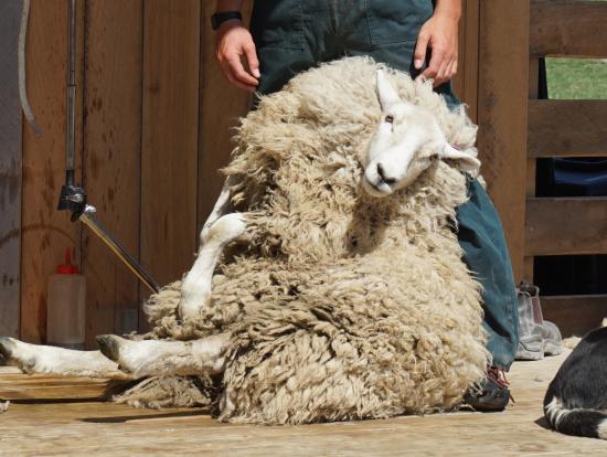 羊狩りショー