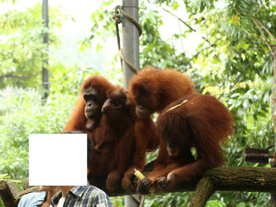 オランウータンとの記念撮影はシンガポール動物園ならでは。