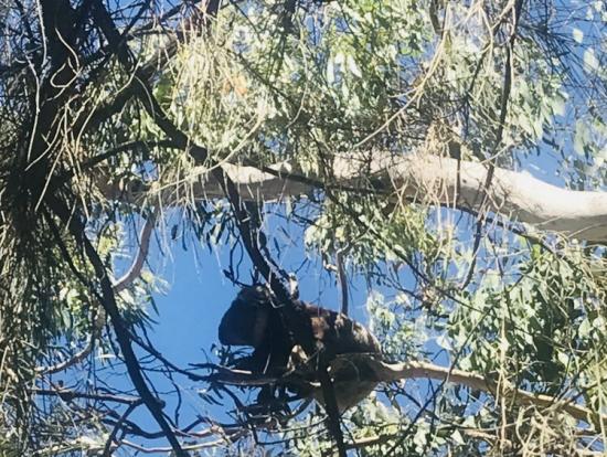 かわいい野生のコアラ