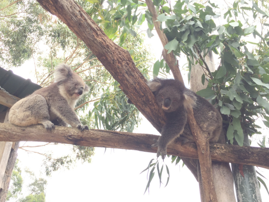 ワイルドパークでのコアラ