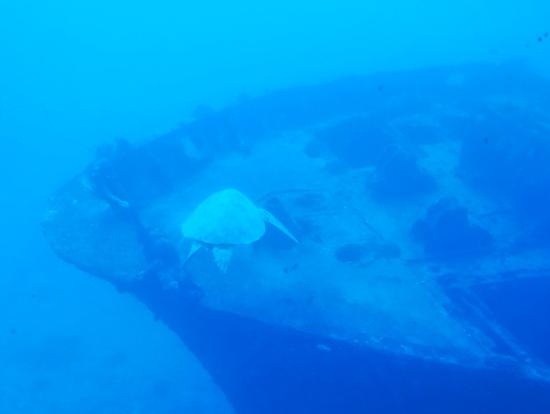 沈没船付近を回遊するウミガメ