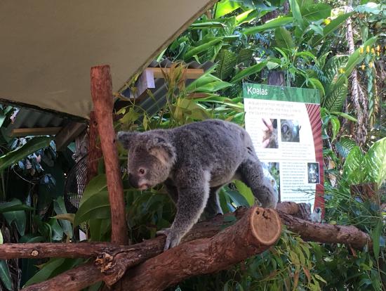 コアラがたくさんいます☆