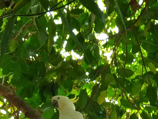 木の上にキバタン