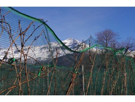 まだ収穫されていないブドウ畑から山を望む