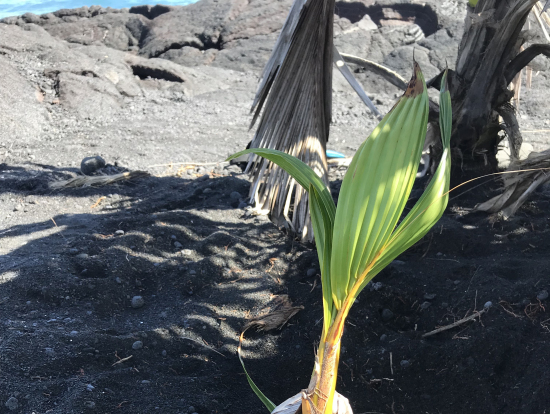 ココナッツの生命力