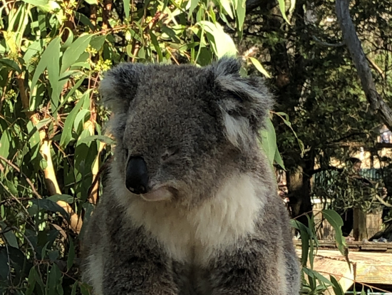 保護施設で眠そうなコアラ
