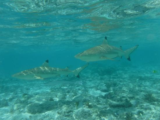 サメとエイの浅瀬スポット。たくさん寄ってきます。