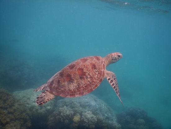 シュノーケルでのウミガメ