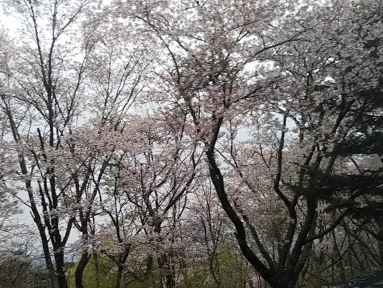 満開の桜、所により桜吹雪
