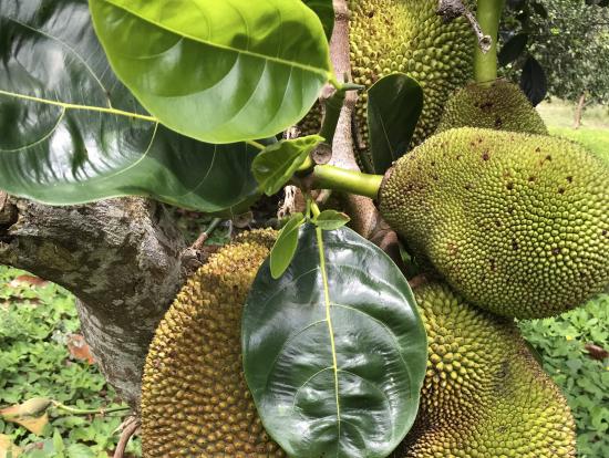 世界最大の果実、ジャックフルーツ