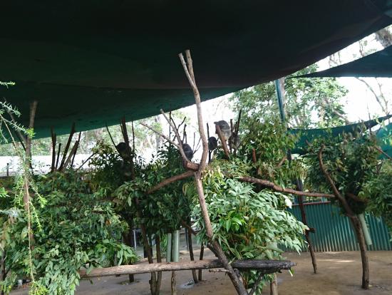 スタンバイ中のコアラ達