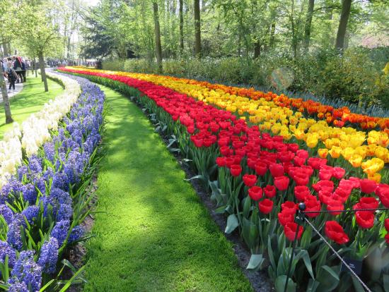 キューケンホフ公園の色鮮やかなチューリーップ