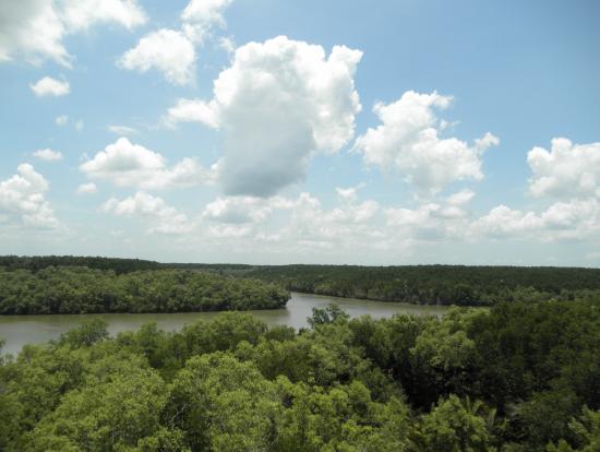展望台から見たマングローブの森