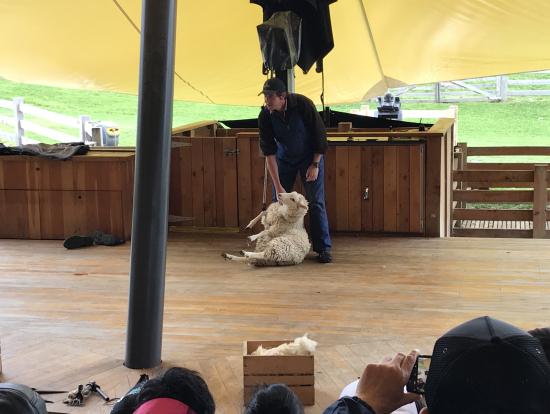 羊の毛刈り作業