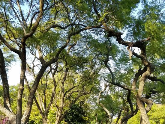 ジャカランタ並木