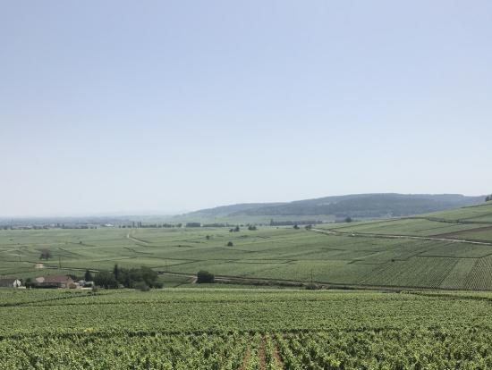コルトンの丘から、一面のブドウ畑を臨む