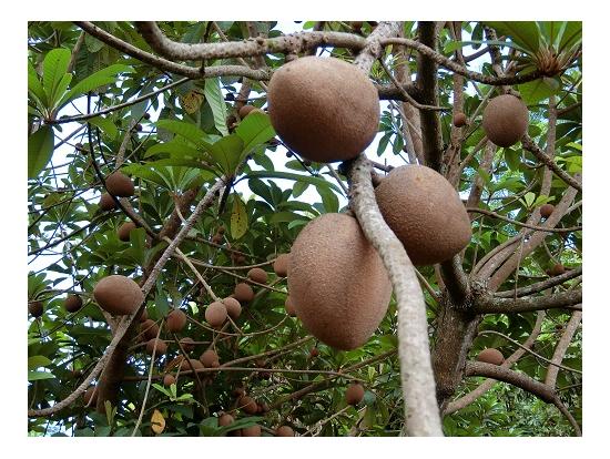 果樹園のフルーツ①