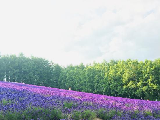 ファーム富田のラベンダー畑、この斜めの角度がこれまた綺麗!