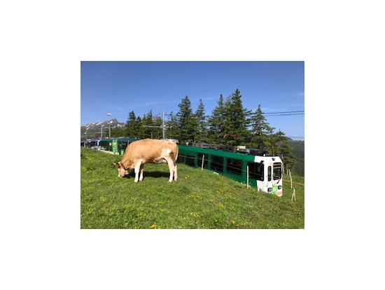 スイスアルプスの山岳地帯を抜ける電車からは牛の放牧の眺めも。