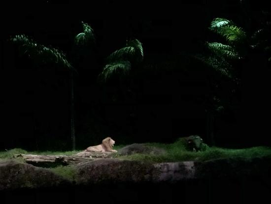 満月の光の中のライオンです