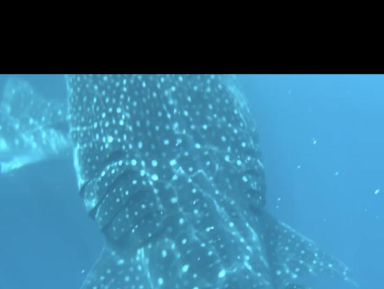 ジンベイザメと間近に接近